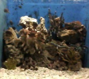 Manila Ocean Park Black and Gold Chromis