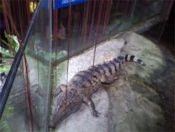 Manila Ocean Park Juvenile Croc
